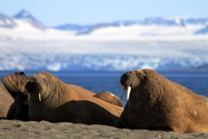 Smelly tons of walrus blubber